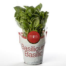 Basilic - bio