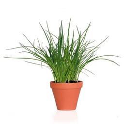 Ciboulette plante en pot